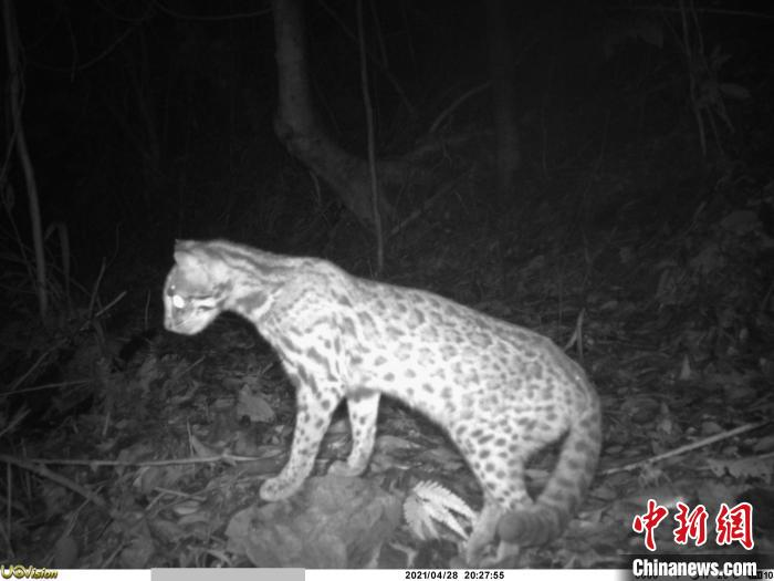 Two Chinese pangolins found in Qixingkeng Nature Reserve, Enping, Guangdong