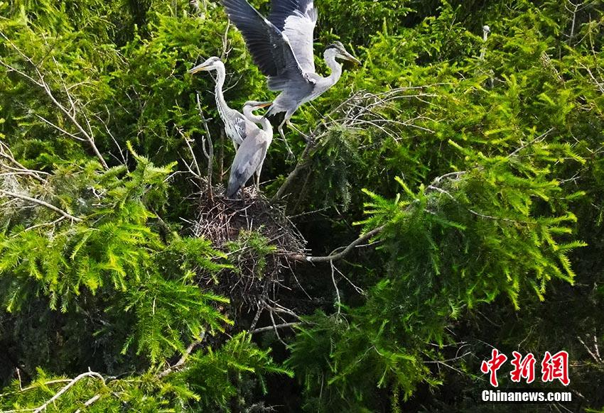 """Aerial photography of Jilin's """"Ludao"""" large swarms of herons living on branches"""