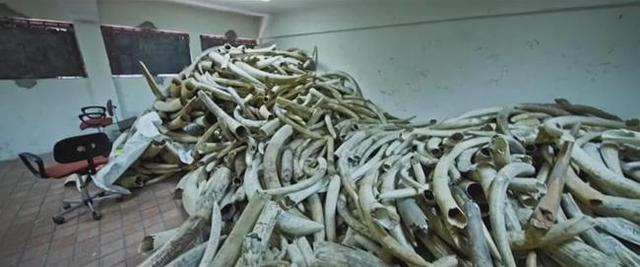 getInterUrl?uicrIvZQ=14a106824ac53408c145813c0fa83a41 - Chinese aunt poaching elephants is extremely cruel, and a few tusks have no worries about life