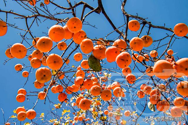 getInterUrl?uicrIvZQ=2c5dafc4a675a97e3616fbc025921634 - In winter, the persimmons in my hometown are red, the view of the mountain village under the blue sky is very charming, and the memories of homesickness are kind