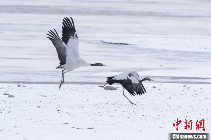 "Super beautiful! Black-necked cranes ""dancing lightly"" in the snow(3)"