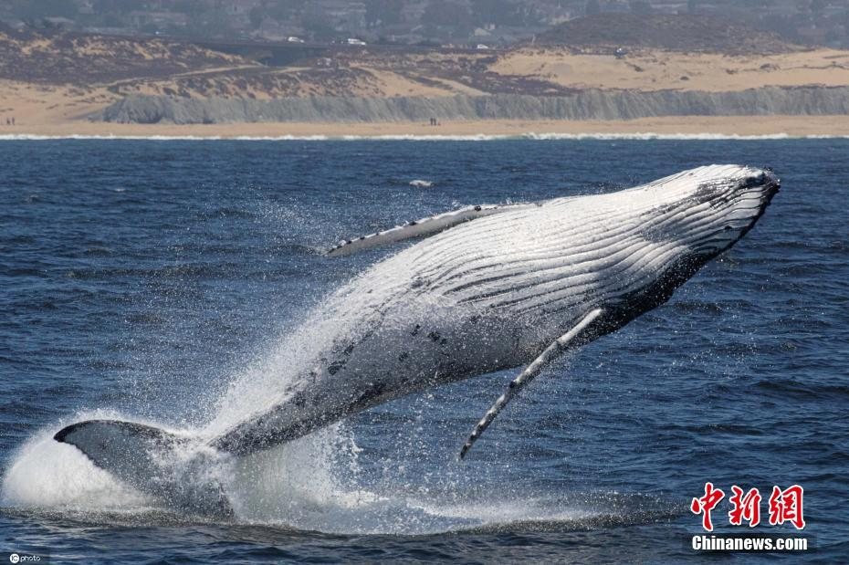 Californian whale jumping out of the water, shocking scene