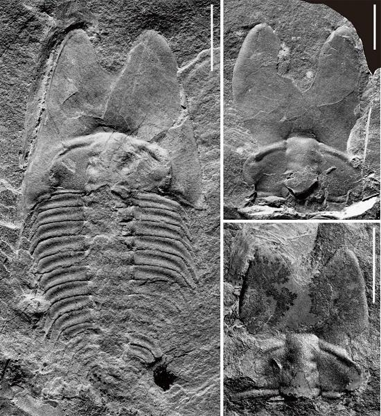 "getInterUrl?uicrIvZQ=7300eddee65f90a1a983e48d69139110 - Paleontologists from the Chinese Academy of Sciences discovered the""rabbit ear bug"" 500 million years ago in Weifang, Shandong"