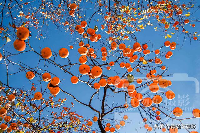 getInterUrl?uicrIvZQ=75388be37db7cce1785dbafd884599cf - In winter, the persimmons in my hometown are red, the view of the mountain village under the blue sky is very charming, and the memories of homesickness are kind