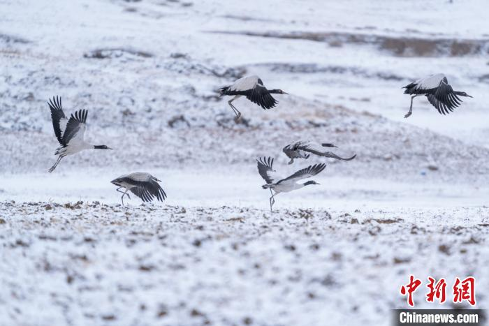 "Super beautiful! Black-necked cranes ""dancing lightly"" in the snow(4)"