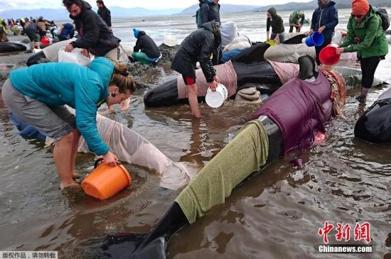 Dozens of whales stranded on New Zealand beach, more than 60 people participated in rescue