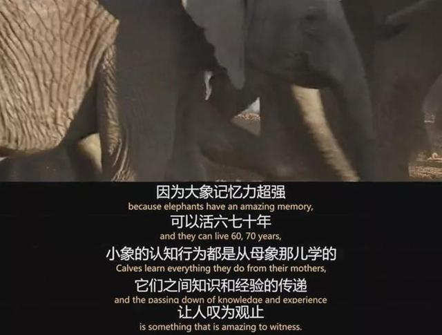 getInterUrl?uicrIvZQ=acc97bcb369a21bd1c911c0616d66a8e - Chinese aunt poaching elephants is extremely cruel, and a few tusks have no worries about life
