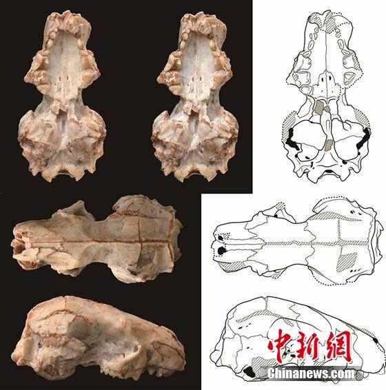 China's new short-faced hedgehog fossil discovered 20 million years ago