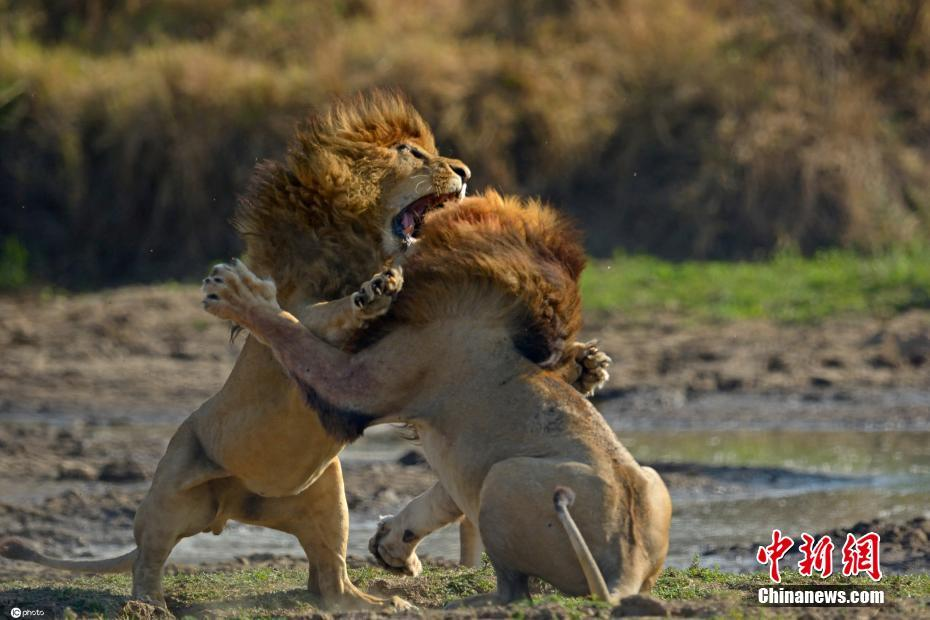 """The battle of kings! Two lions staged a """"full martial arts trip"""" on the grassland"""