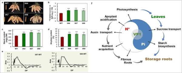 Research reveals the mechanism of hydrogen ion pyrophosphorylase regulating sweet potato quality and yieldimage