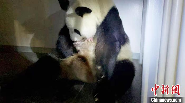 """Japanese giant panda """"fairy"""" gives birth to twins"""
